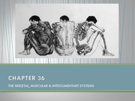 THE SKELETAL, MUSCULAR & INTEGUMENTARY SYSTEMS. THE SKELETAL SYSTEM HW: P. 925 #1-4.