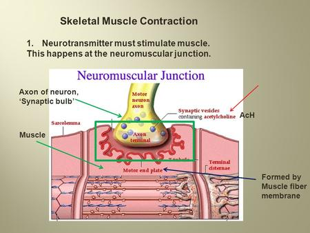 Skeletal Muscle Contraction 1.Neurotransmitter must stimulate muscle. This happens at the neuromuscular junction. Axon of neuron, 'Synaptic bulb' Muscle.