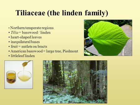 Tiliaceae (the linden family) Northern temperate regions Tilia = basswood / linden heart-shaped leaves inequilateral bases fruit = nutlets on bracts American.