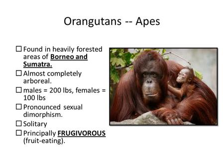 Orangutans -- Apes  Found in heavily forested areas of Borneo and Sumatra.  Almost completely arboreal.  males = 200 lbs, females = 100 lbs  Pronounced.