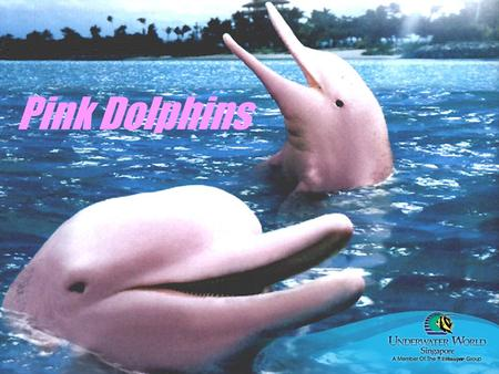 Pink Dolphins. What types of foods do the pink dolphins eat? Pink dolphins usually eat; Crabs Catfish Small river fish sometimes they also eat small turtles.