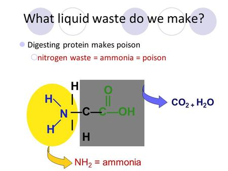 What liquid waste do we make? Digesting protein makes poison  nitrogen waste = ammonia = poison H CO 2 + H 2 O NH 2 = ammonia H H N C—OH || O H | —C—