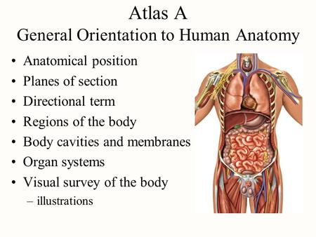 Atlas A General Orientation to Human Anatomy Anatomical position Planes of section Directional term Regions of the body Body cavities and membranes Organ.