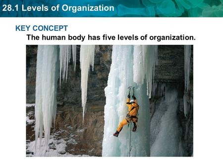 28.1 Levels of Organization KEY CONCEPT The human body has five levels of organization.