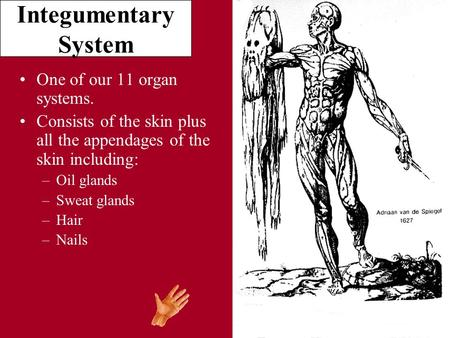 Integumentary System One of our 11 organ systems. Consists of the skin plus all the appendages of the skin including: –Oil glands –Sweat glands –Hair –Nails.