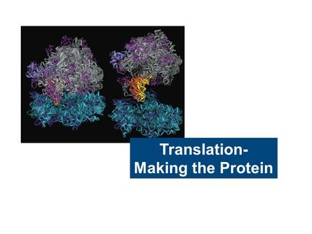 Translation- Making the Protein