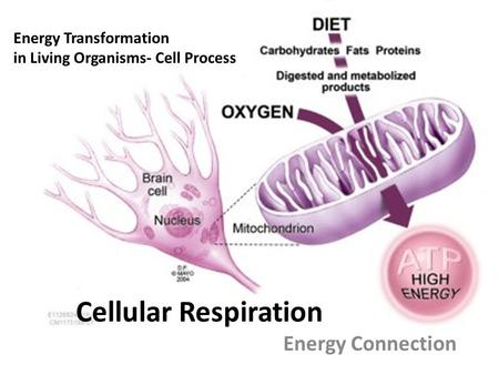 Cellular Respiration Energy Connection Energy Transformation in Living Organisms- Cell Process.