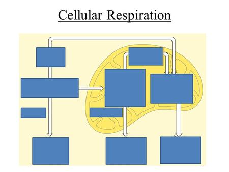 Cellular Respiration. Glycolysis – In the cytosol Uses 2 ATP's Makes 4 ATP's Makes 2 NADH's Left with 2 pyruvates Start with Glucose.