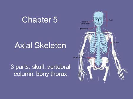 Chapter 5 Axial Skeleton 3 parts: skull, vertebral column, bony thorax.