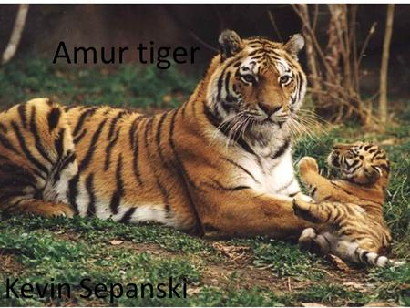 Amur tiger Kevin Sepanski. Facts Amur Tiger Weight 396 – 660 pounds Length Up to 10 feet Habitats Temperate forest.
