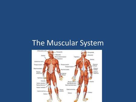 The Muscular System. Muscle Facts 45% body weight Over 600 muscles Muscles are bundles of muscle fibers held together by connective tissue Takes 17 muscles.
