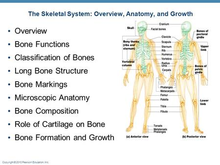 Copyright © 2010 Pearson Education, Inc. The Skeletal System: Overview, Anatomy, and Growth Overview Bone Functions Classification of Bones Long Bone Structure.