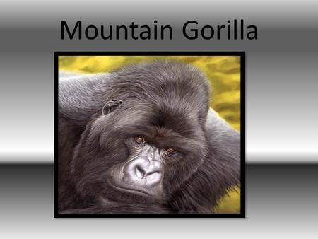 Mountain Gorilla.