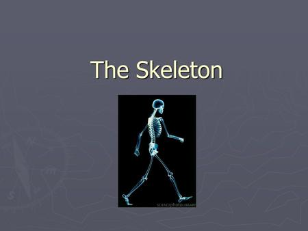 The Skeleton. Functions ► Support- provides a framework for muscles and organs. ► Protection of vital (necessary) organs. ► To make new blood. ► Storage.