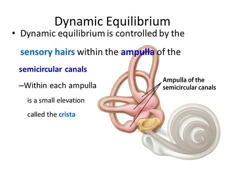 Dynamic Equilibrium Dynamic equilibrium is controlled by the sensory hairs within the ampulla of the semicircular canals – Within each ampulla is a small.