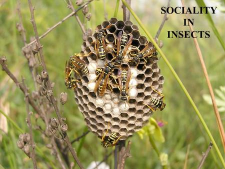 SOCIALITY IN INSECTS.
