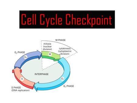 Cell Cycle Checkpoint. The cell cycle: cells duplicate their contents and divide.