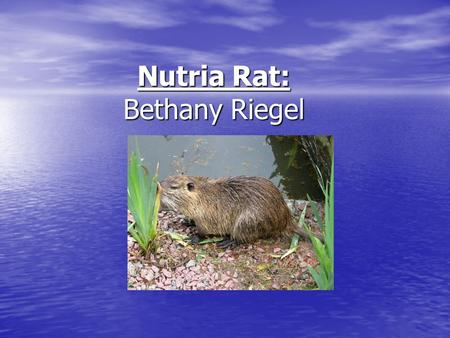 Nutria Rat: Bethany Riegel. Also known as… Scientific name: Myocastor coypus Molina Scientific name: Myocastor coypus Molina Common names: Nutria, coypu,