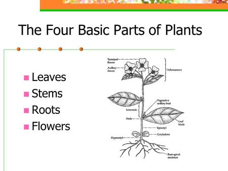 The Four Basic Parts of Plants Leaves Stems Roots Flowers.