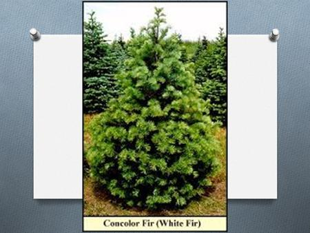 Abies concolor White Fir Dawson Carter 10/31/2014 E.S. Pd. 3/4.