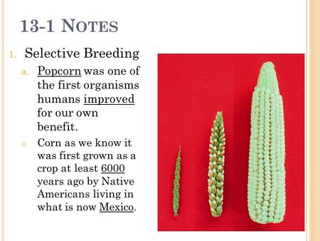 13-1 N OTES 1. Selective Breeding a. Popcorn was one of the first organisms humans improved for our own benefit. o Corn as we know it was first grown as.