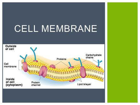 CELL MEMBRANE.  ALL CELLS!!!  Prokaryotes  (bacteria, archaea)  Eukaryotes  (plants, animals, protists, fungi) WHAT TYPES OF CELLS HAVE CELL MEMBRANES?