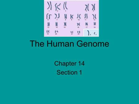 The Human Genome Chapter 14 Section 1. karyotype (KAR-ee-uh-typ). photograph cells in mitosis, when the chromosomes are fully condensed and easy to see.