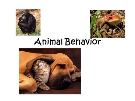Animal Behavior. Ethologist: a scientist who studies animal behavior in nature – Is behavior inherited? – Is behavior learned? – Can a behavior be both?
