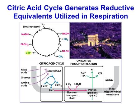 Citric Acid Cycle Generates Reductive Equivalents Utilized in Respiration.