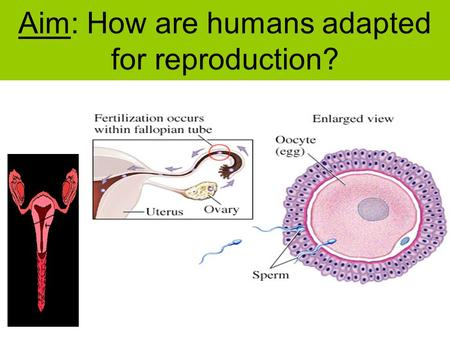 Aim: How are humans adapted for reproduction?. Human Reproduction In order to aid our reproductive processes, the human body has two major anatomical.