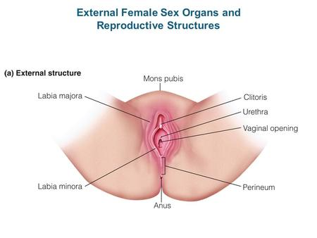 External Female Sex Organs and Reproductive Structures.