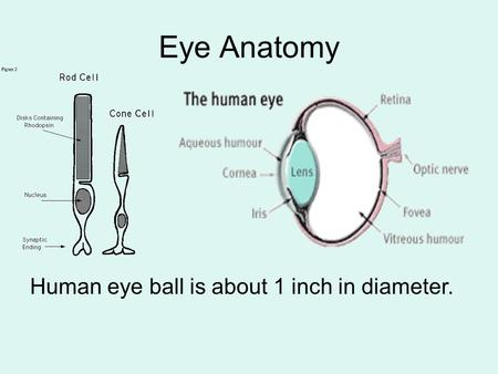 Eye Anatomy Human eye ball is about 1 inch in diameter.