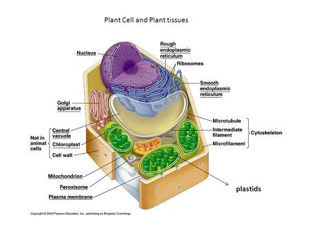 Plant Cell and Plant tissues