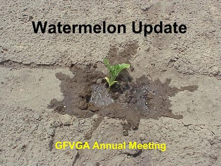 Watermelon Update GFVGA Annual Meeting. Watermelon Weed Management 1)Strategy 2)Sandea 3)Pigweed control 4)Nutsedge control 5)Morningglory control.