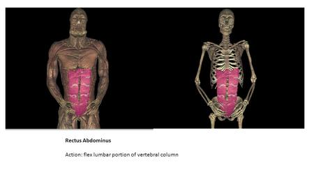 Rectus Abdominus Action: flex lumbar portion of vertebral column.