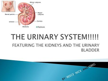 FEATURING THE KIDNEYS AND THE URINARY BLADDER BY: REECE, NICK, AND GREG.