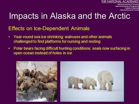 Impacts in Alaska and the Arctic Effects on Ice-Dependent Animals Year-round sea ice shrinking: walruses and other animals challenged to find platforms.