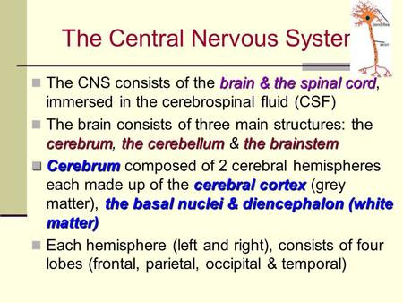 The Central Nervous System brain & the spinal cord The CNS consists of the brain & the spinal cord, immersed in the cerebrospinal fluid (CSF) cerebrum,