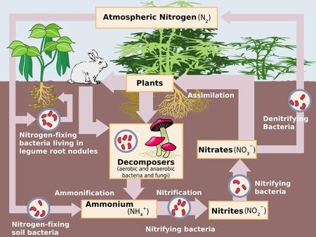 INTRODUCTION Nitrogen is an element that is found in both the living portion of our planet and the inorganic parts of the Earth system. It is essential.