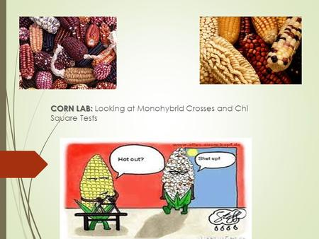 Corn Lab CORN LAB: CORN LAB: Looking at Monohybrid Crosses and Chi Square Tests.