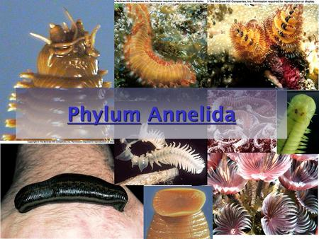 "1 PhylumPhylum Annelida Annelida PhylumAnnelida. 2 Phylum Annelida ""little ring"" Segmented worms 15,000 species –Marine worms –freshwater worms –terrestrial."