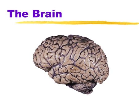 The Brain.  Brainstem  the oldest part and central core of the brain, beginning where the spinal cord swells as it enters the skull  responsible for.