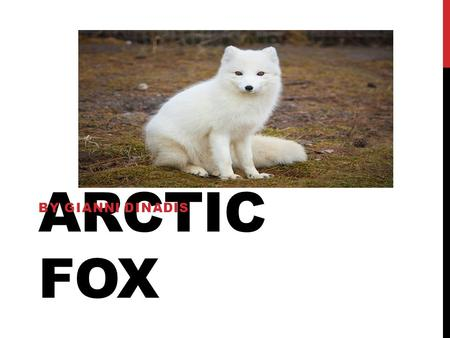 ARCTIC FOX BY GIANNI DINADIS. BASIC FACTS An arctic fox is a mammal. They live for thirteen years. They are 33 centimeters long. They have white fur,