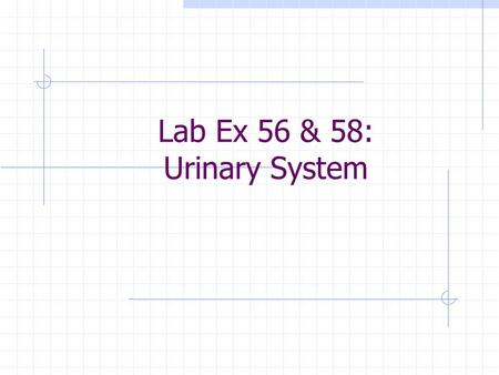 Lab Ex 56 & 58: Urinary System. KIDNEY Renal capsule.