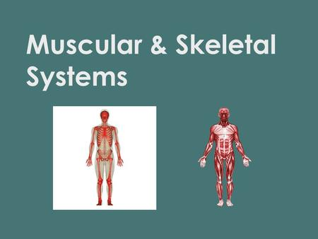 Muscular & Skeletal Systems