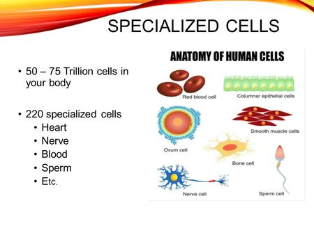 SPECIALIZED CELLS 50 – 75 Trillion cells in your body 220 specialized cells Heart Nerve Blood Sperm E tc.