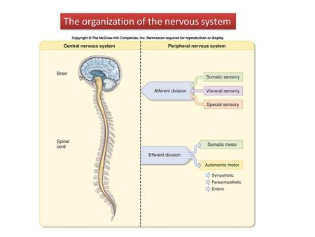 The organization of the nervous system. Structure of the human cerebral cortex.