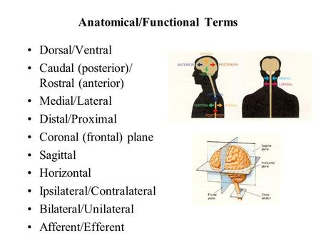 Anatomical/Functional Terms Dorsal/Ventral Caudal (posterior)/ Rostral (anterior) Medial/Lateral Distal/Proximal Coronal (frontal) plane Sagittal Horizontal.