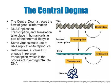 The Central Dogma The Central Dogma traces the flow of genetic information DNA Replication, Transcription, and Translation take place in human cells as.