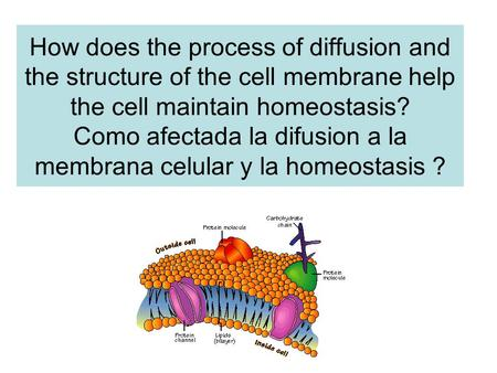 How does the process of diffusion and the structure of the cell membrane help the cell maintain homeostasis? Como afectada la difusion a la membrana celular.